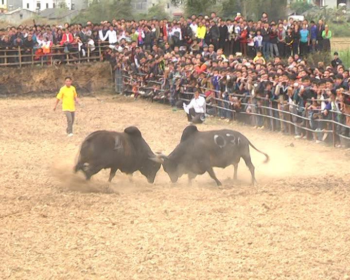 Hà Quảng: Hội thi bò xuân 2016