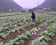 Nam Tuấn - Hòa An: Tập trung thâm canh cây thuốc lá