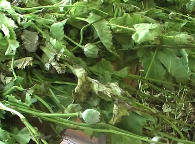 Phục Hòa: Thiêu hủy gần 350 cây thuốc phiện