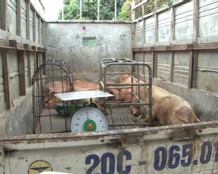 Công an tỉnh: Bắt giữ hơn 600 vịt giống, 500kg lợn thương phẩm không rõ nguồn gốc