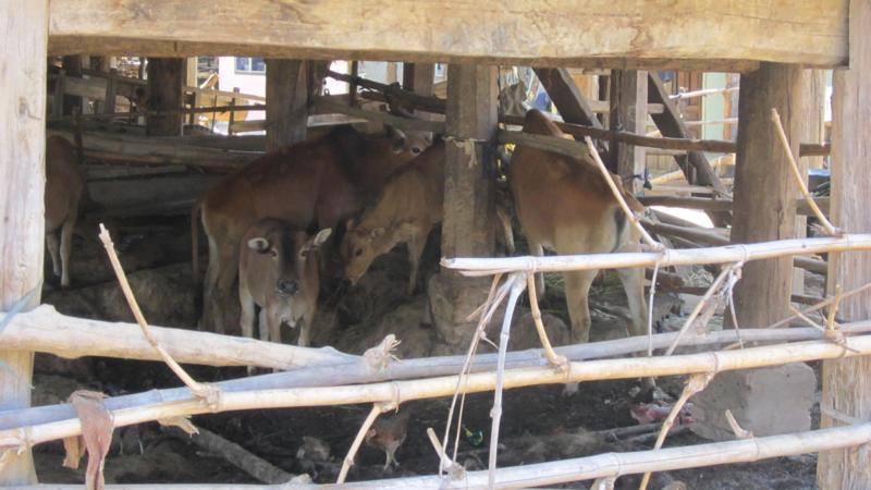 Quảng Uyên: Phúc Sen cần đẩy mạnh đưa gia súc ra khỏi gầm sàn nhà ở, phấn đấu hoàn thành tiêu chí nông thôn mới