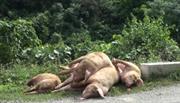 Tình trạng dừng xuất khẩu lợn hơi sang Trung Quốc ảnh hưởng đến chăn nuôi trong nước