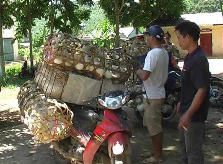 Trà Lĩnh: Tiêu hủy 189 vịt sống nhập lậu từ Trung Quốc