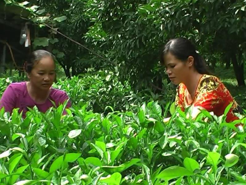 Trà Lĩnh: Hộ nông dân thu nhập gần 500 triệu đồng từ mô hình trồng cây ăn quả và chăn nuôi