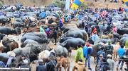 Trà Lĩnh: Khai trương chợ gia súc lớn nhất, nhì miền Bắc