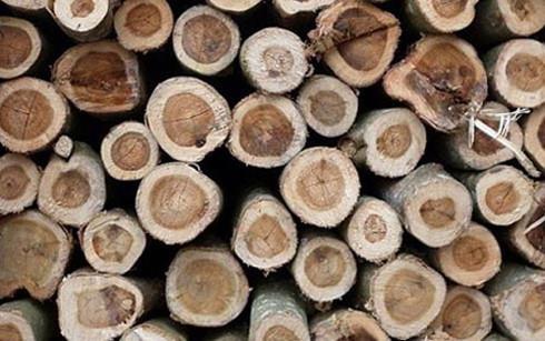 Trung Quốc ồ ạt thu mua gỗ cao su của Việt Nam