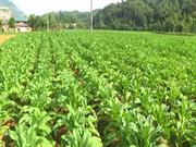 Hà Quảng: Gieo trồng trên 4.300 ha cây trồng vụ đông xuân