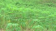 Bảo Lạc: Trồng trên 556 ha cây sắn