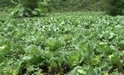 Từ mô hình trồng bắp cải trái vụ đến thuốc trừ sâu tự chế của người dân xã vùng cao Thái Học