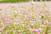 Vẻ đẹp loài hoa Tam Giác Mạch