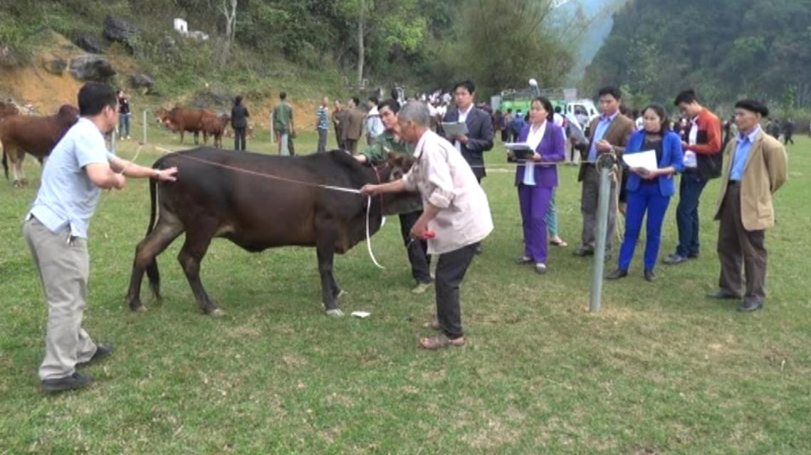 Hà Quảng: Hội thi Bò xuân cụm xã Nà Sác