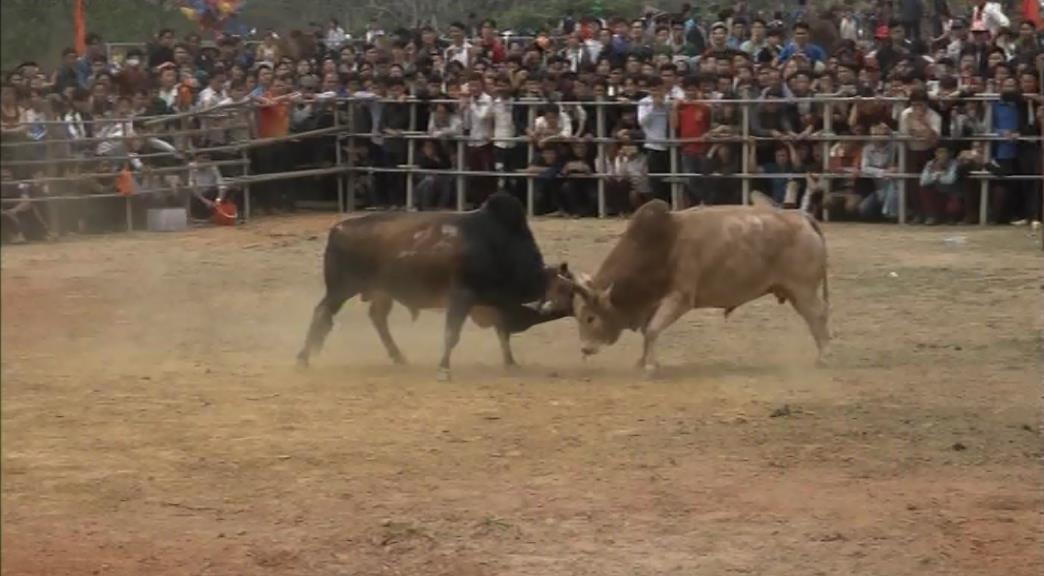 Bảo Lâm: Lễ hội chọi bò lần thứ XI