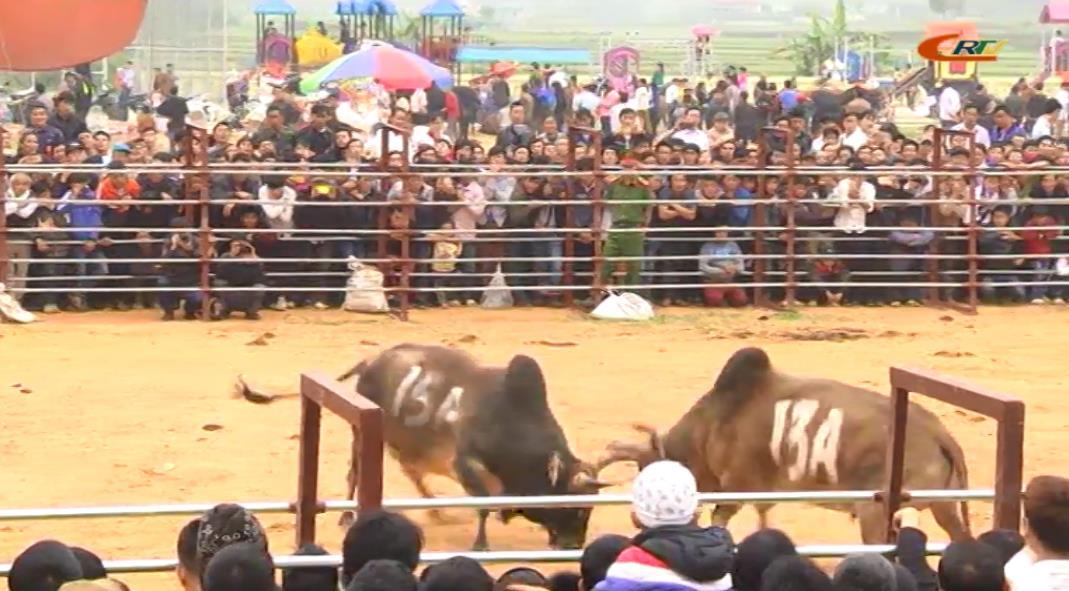Hà Quảng: Hội thi Bò đẹp và Chọi bò lần thứ XII