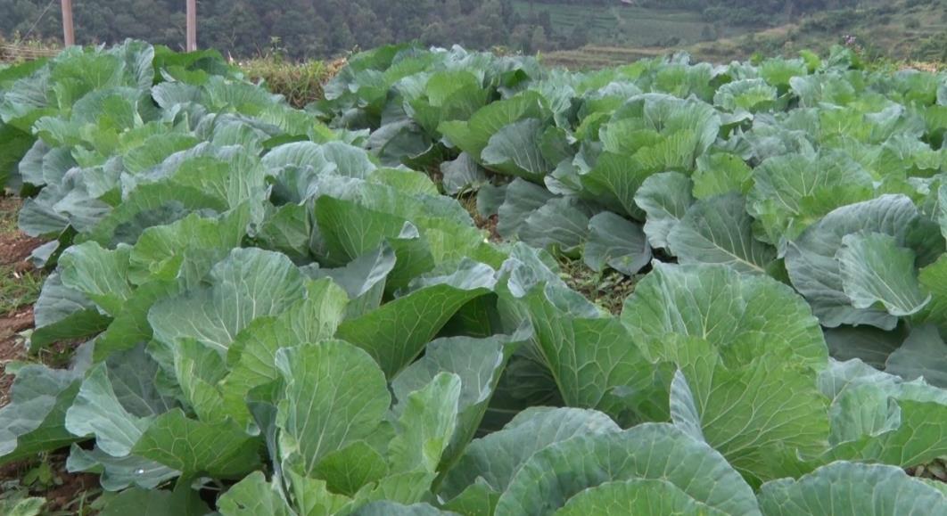 Nguyên Bình chú trọng phát triển mô hình trồng rau an toàn trái vụ