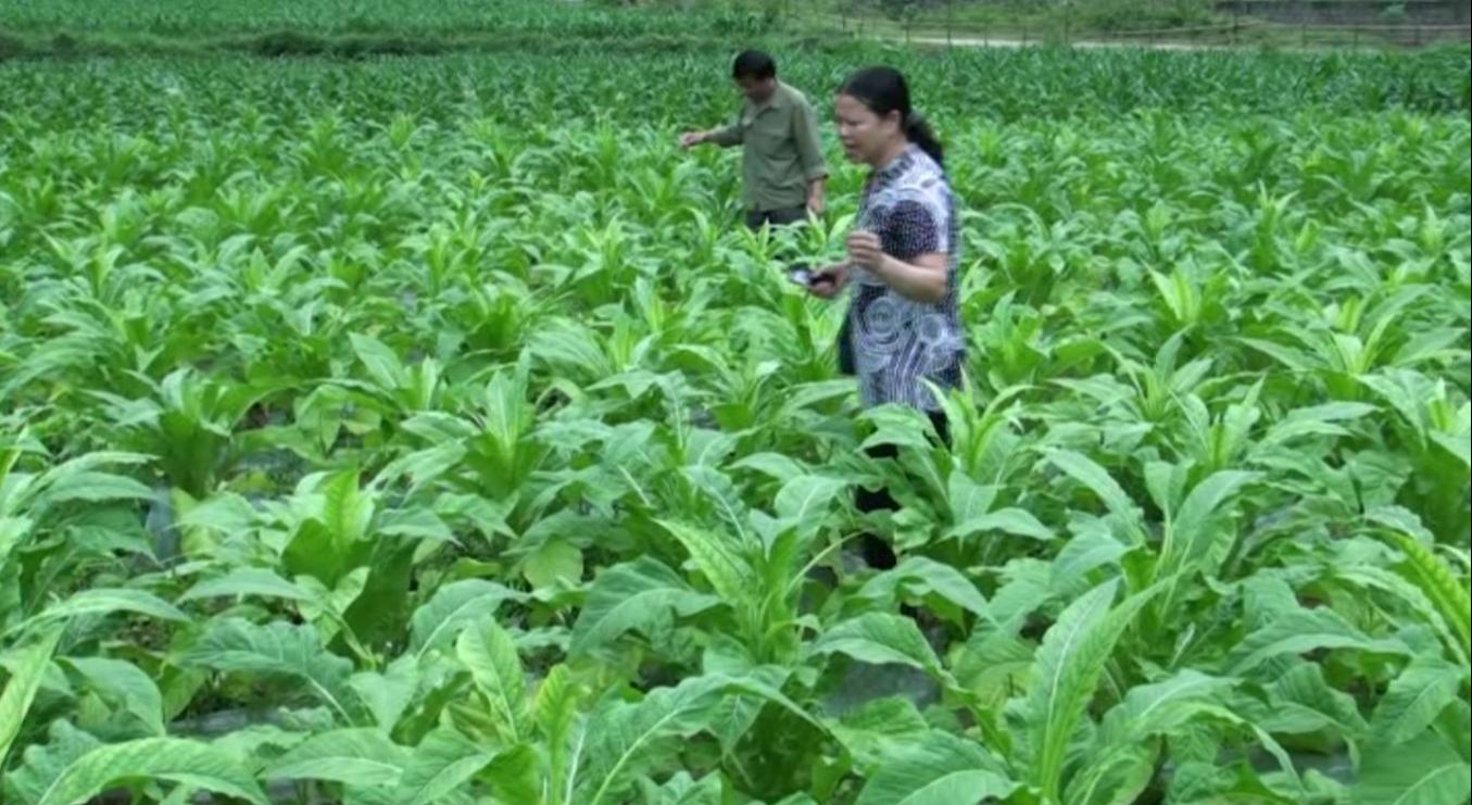 Trùng Khánh: Tổng kết công tác sản xuất, quản lý thu mua thuốc lá nguyên liệu