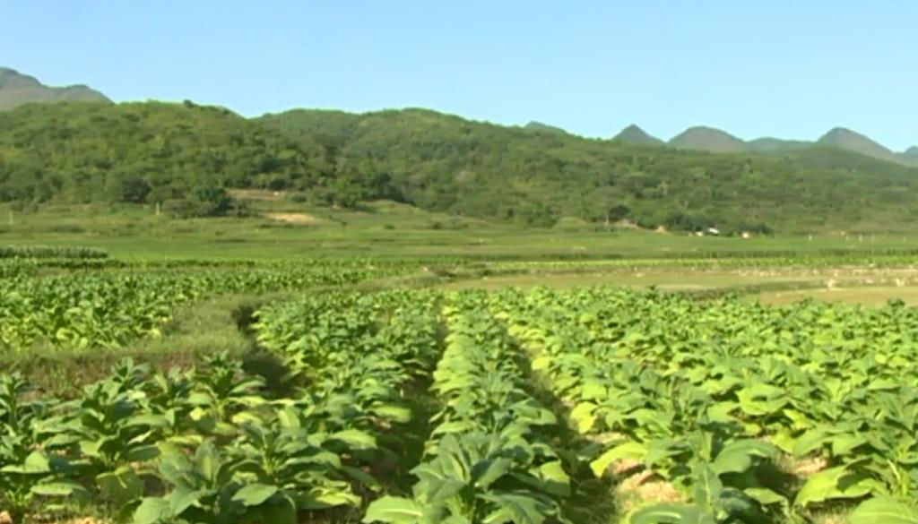Quảng Uyên: Phấn đấu trồng 180 ha cây thuốc lá vụ đông xuân 2018 - 2019