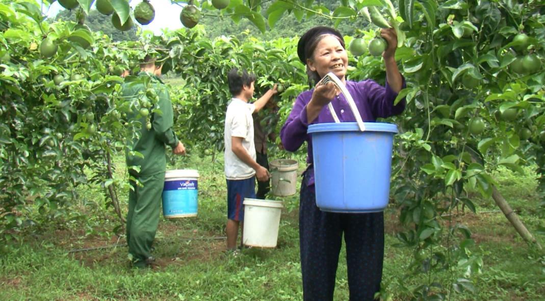 Nông dân Trà Lĩnh thu nhập hàng chục tỷ đồng từ cây trồng đặc hữu