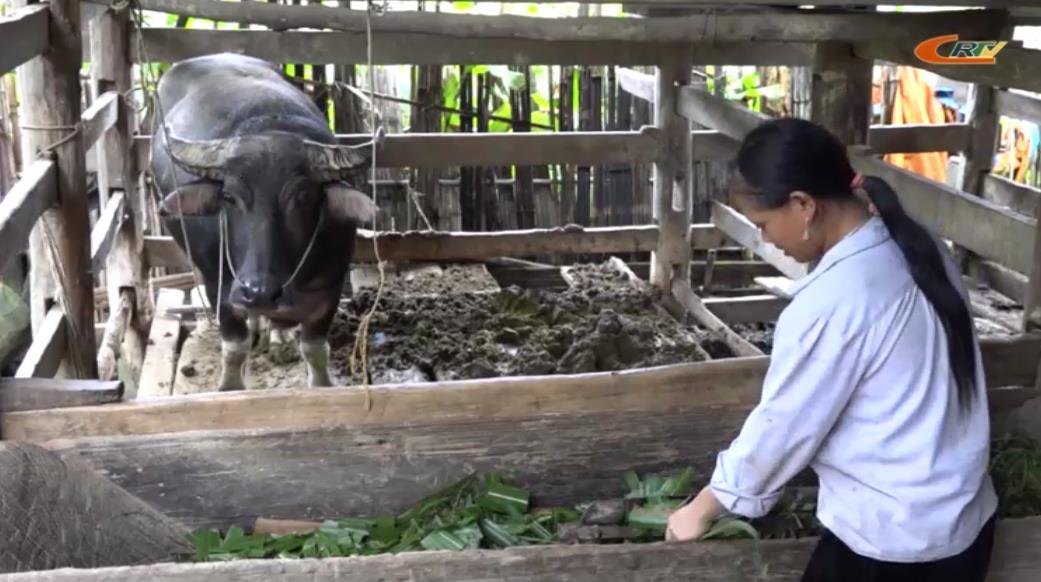 Người Dao Tàn Pà phòng chống rét cho trâu, bò