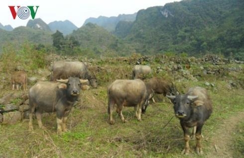 Gần 260 con gia súc tại Cao Bằng chết do rét đậm, rét hại