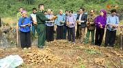 Gừng - Cây trồng mang lại thu nhập cao cho nông dân vùng Lục Khu