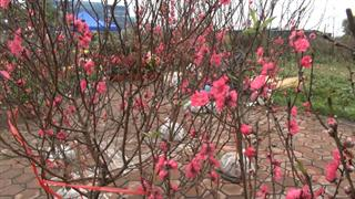 Sôi động thị trường hoa, cây cảnh phục vụ Tết Nguyên đán
