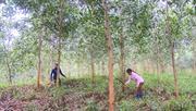 Triển vọng từ mô hình trồng rừng thâm canh cây keo lai mô