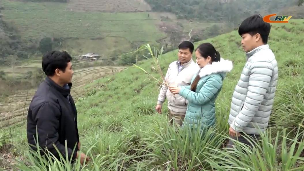 Trồng sả chưng cất tinh dầu - Hướng phát triển kinh tế mới tại Bảo Lâm