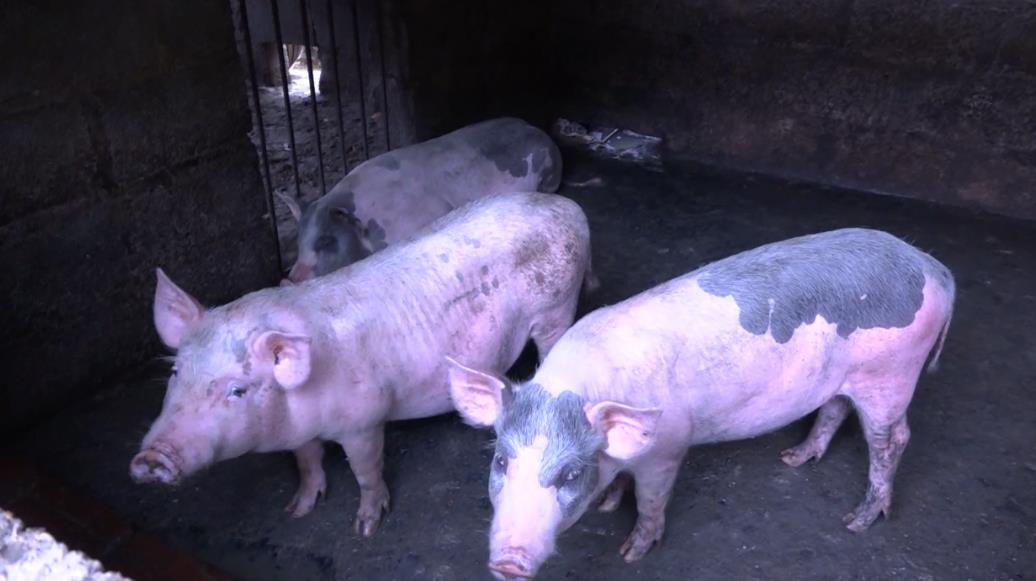 Tổng đàn lợn giảm trên 37.000 con do ảnh hưởng của dịch tả lợn châu Phi