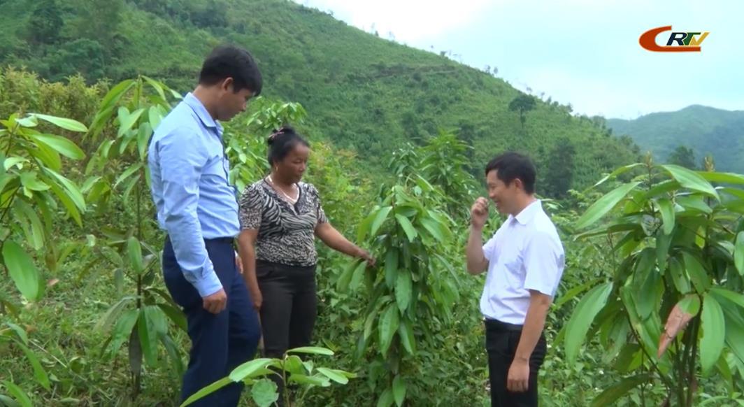 Nguyên Bình tập trung phát triển cây quế thành vùng dược liệu