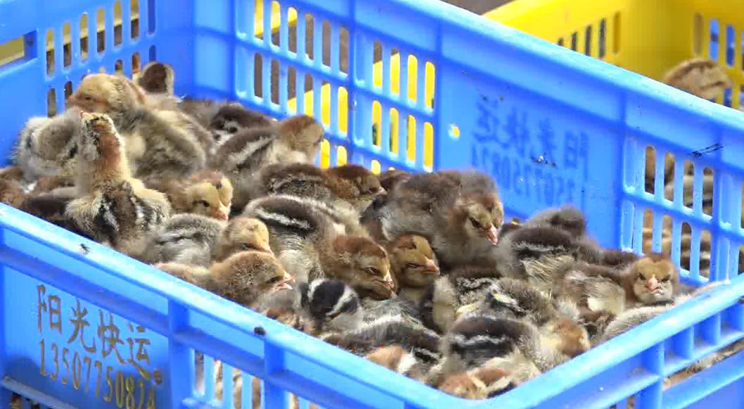 Hải quan Cao Bằng: Bắt giữ trên 14.500 con gà giống nhập lậu