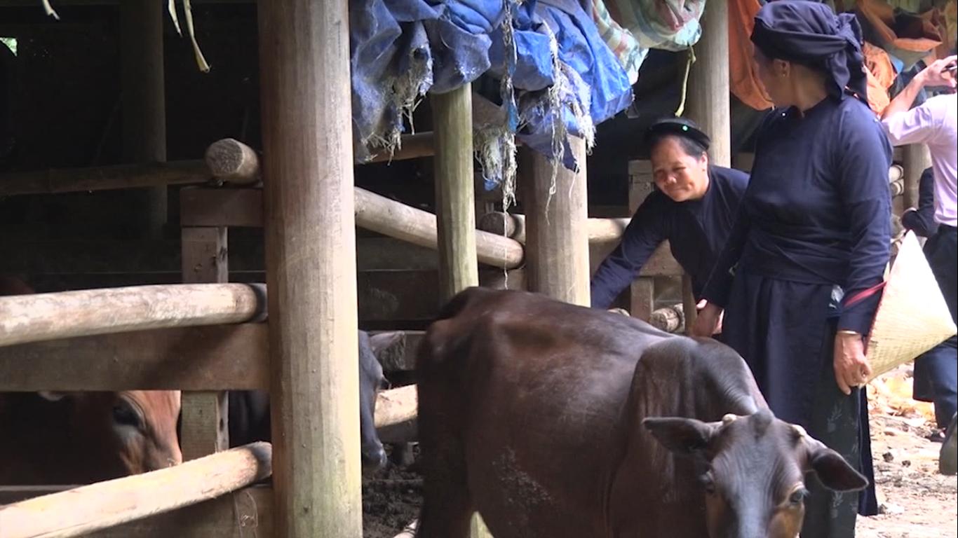 Trùng Khánh: Hoàn thành 115,8% kế hoạch di dời gia súc ra khỏi gầm sàn nhà ở