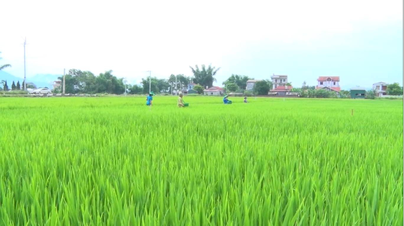 Toàn tỉnh gieo trồng được trên 26 nghìn ha lúa mùa