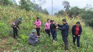 Nguyên Bình: Sơ kết mô hình trồng cây cát sâm tại xã Minh Tâm