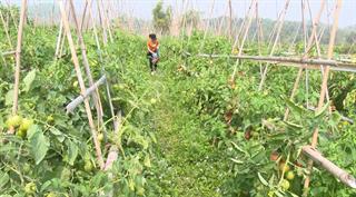 Cà chua mất giá, người nông dân lao đao tìm đầu ra