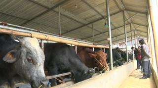 Hòa An: Mô hình phát triển bò vỗ béo, bò sinh sản tại 3 xã Dân Chủ, Đức Long và Bình Dương